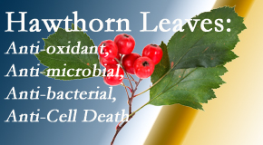 Pflugerville Wellness Center shares new research regarding the flavonoids of the hawthorn tree leaves' extract that are antioxidant, antibacterial, antimicrobial and anti-cell death.